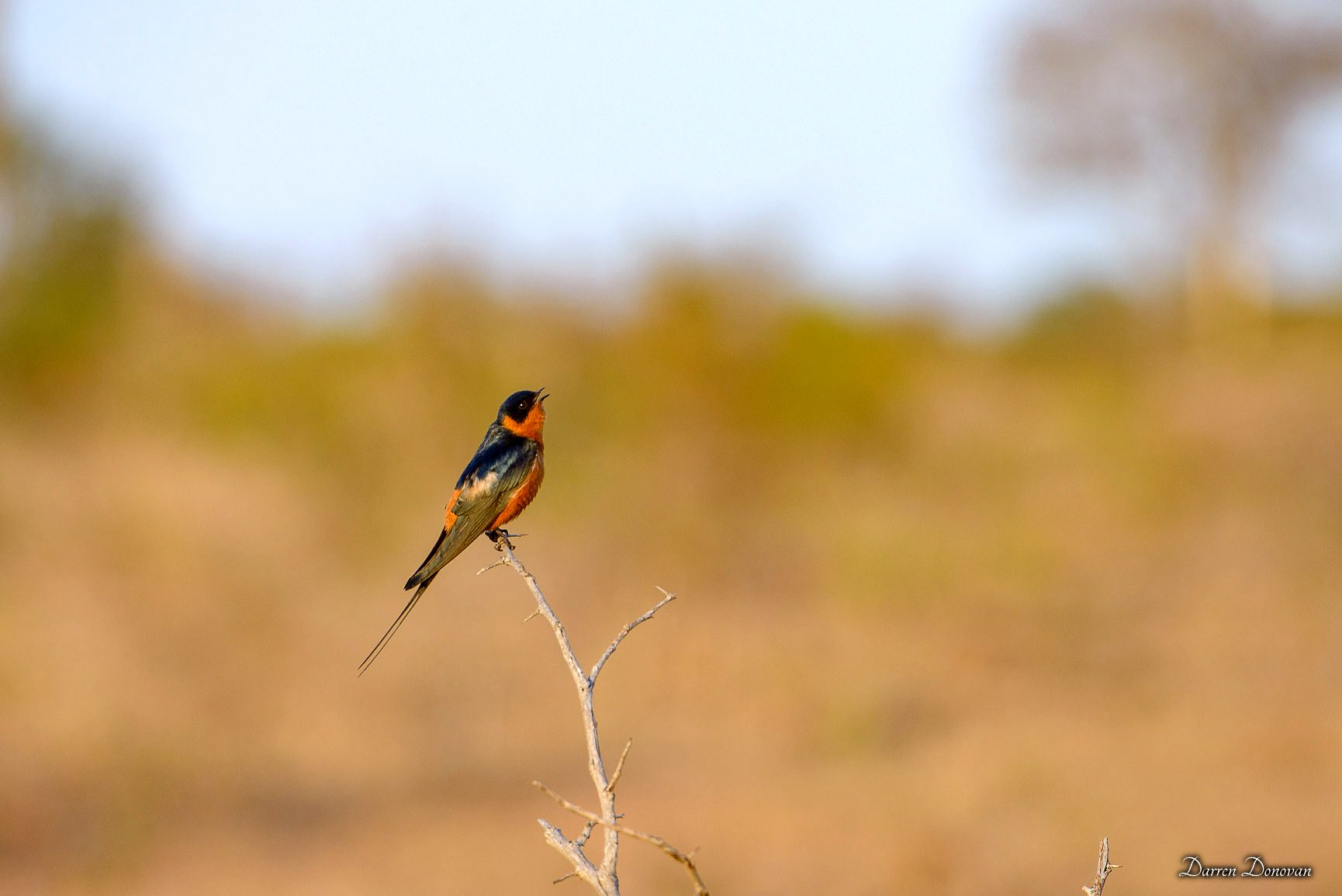 Red-Breasted Swallow, the first of the summer migrants to return.