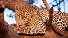 CS leopard-cc