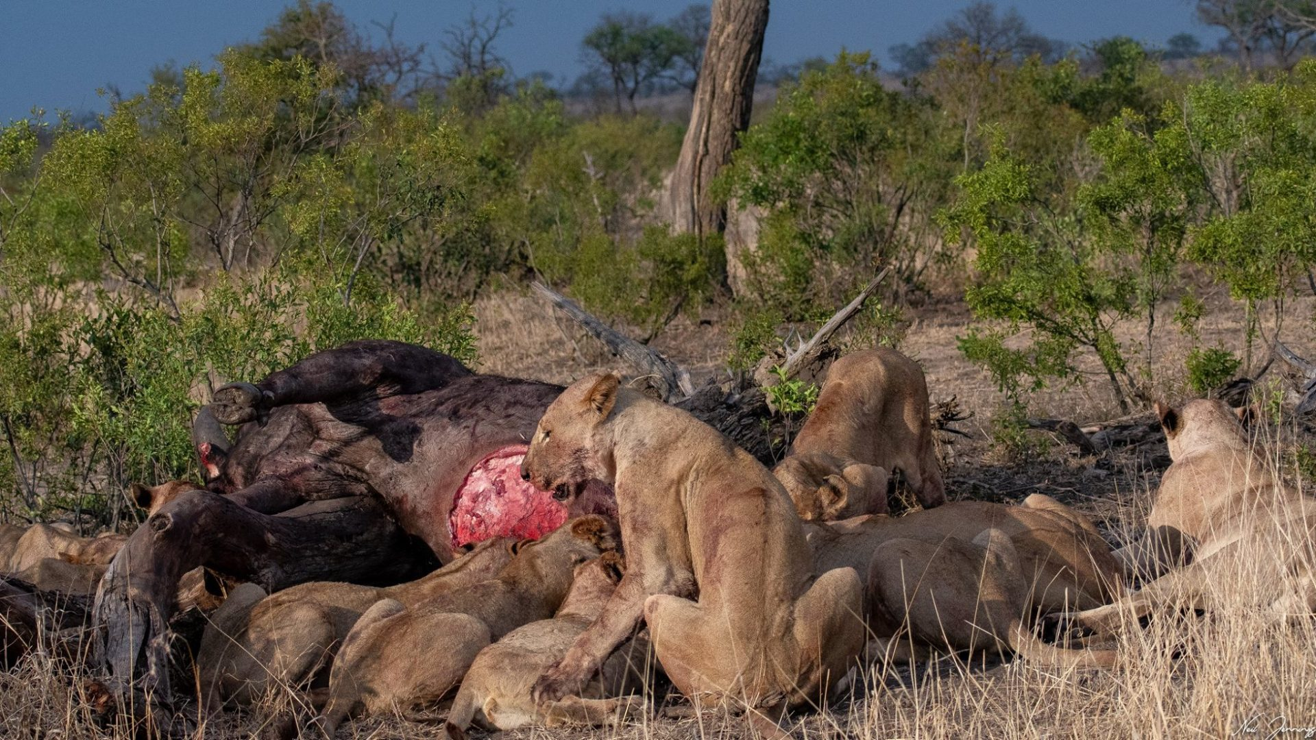 ac19ba4d56d Or maybe, after so many years sharing similar territories, the lions know  each other so well, and are willing to suspend their territorial instincts  and ...